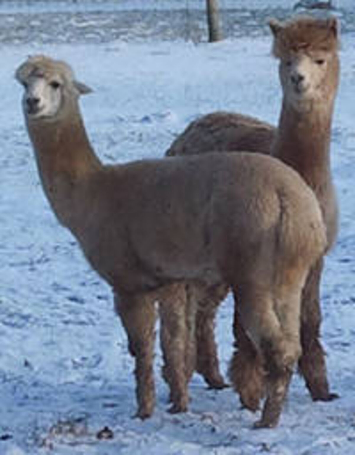 ChromoTek alpaca image jpg
