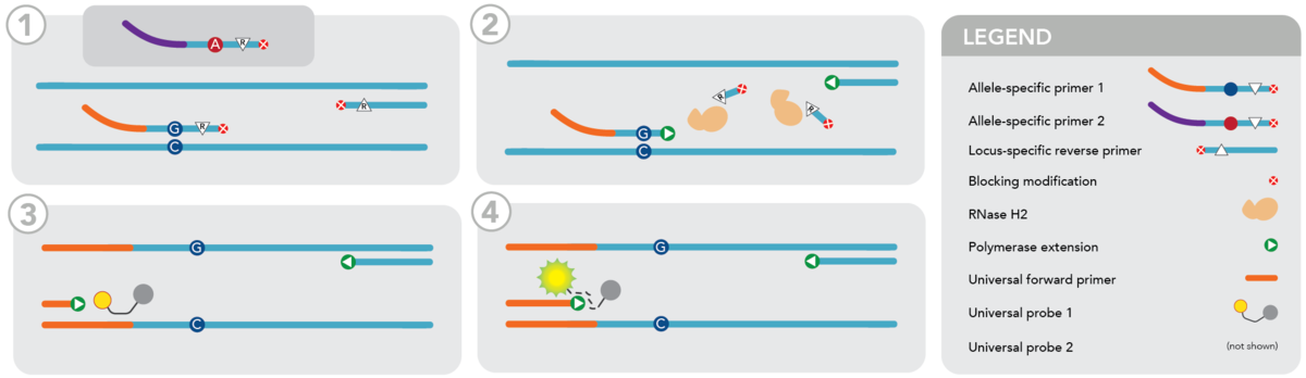rhAmp™ SNP Genotyping PCR cycle graphic