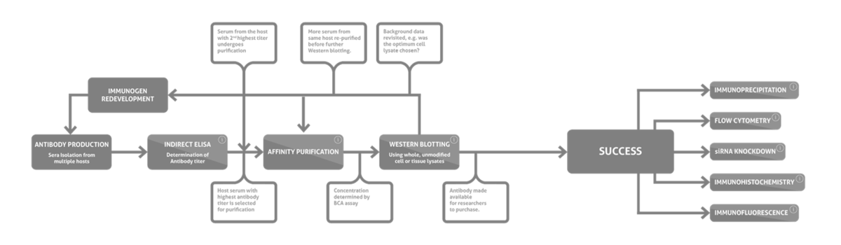 Proteintech - Antibody validation process png