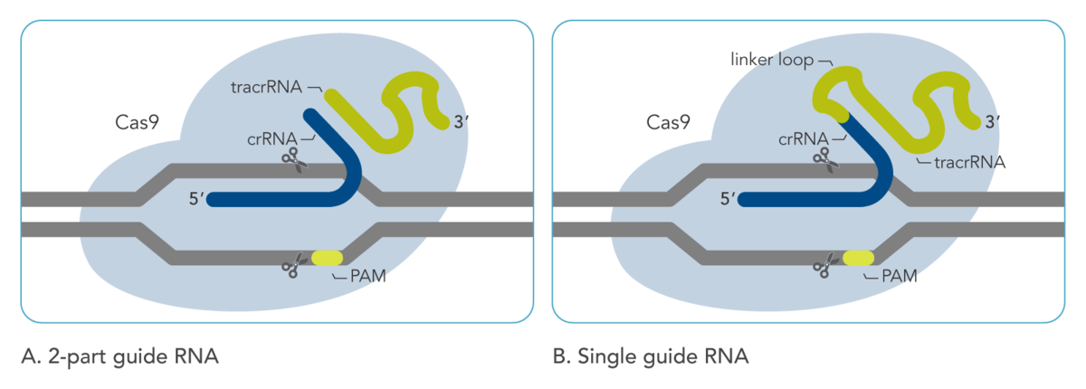 One and two-part guide RNAs in CRISPR