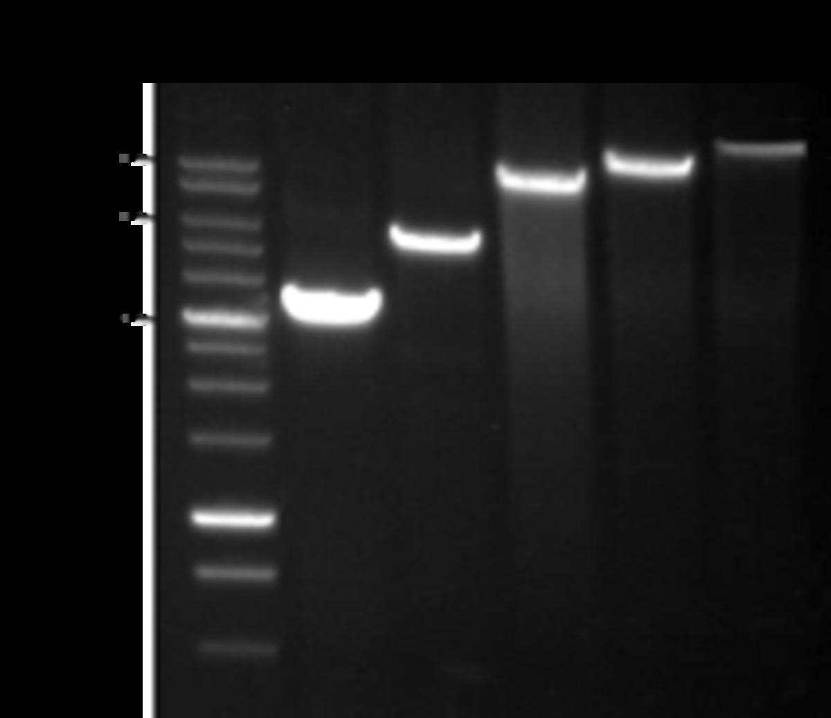 Evrogen Tersus polymerase png