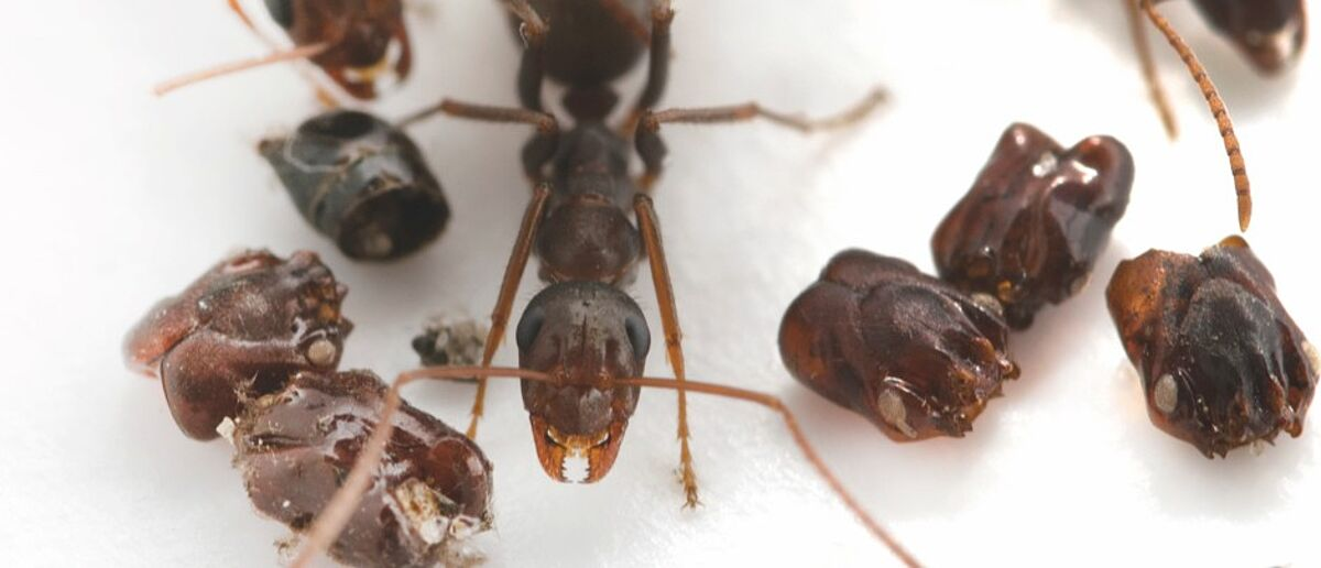 Headhunting ants