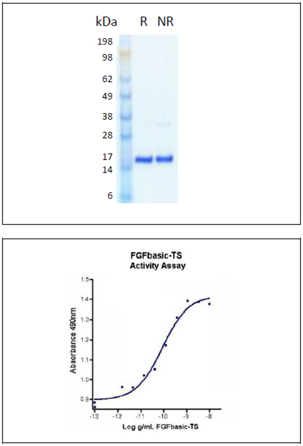 Humanzyme thermostable FGF basic