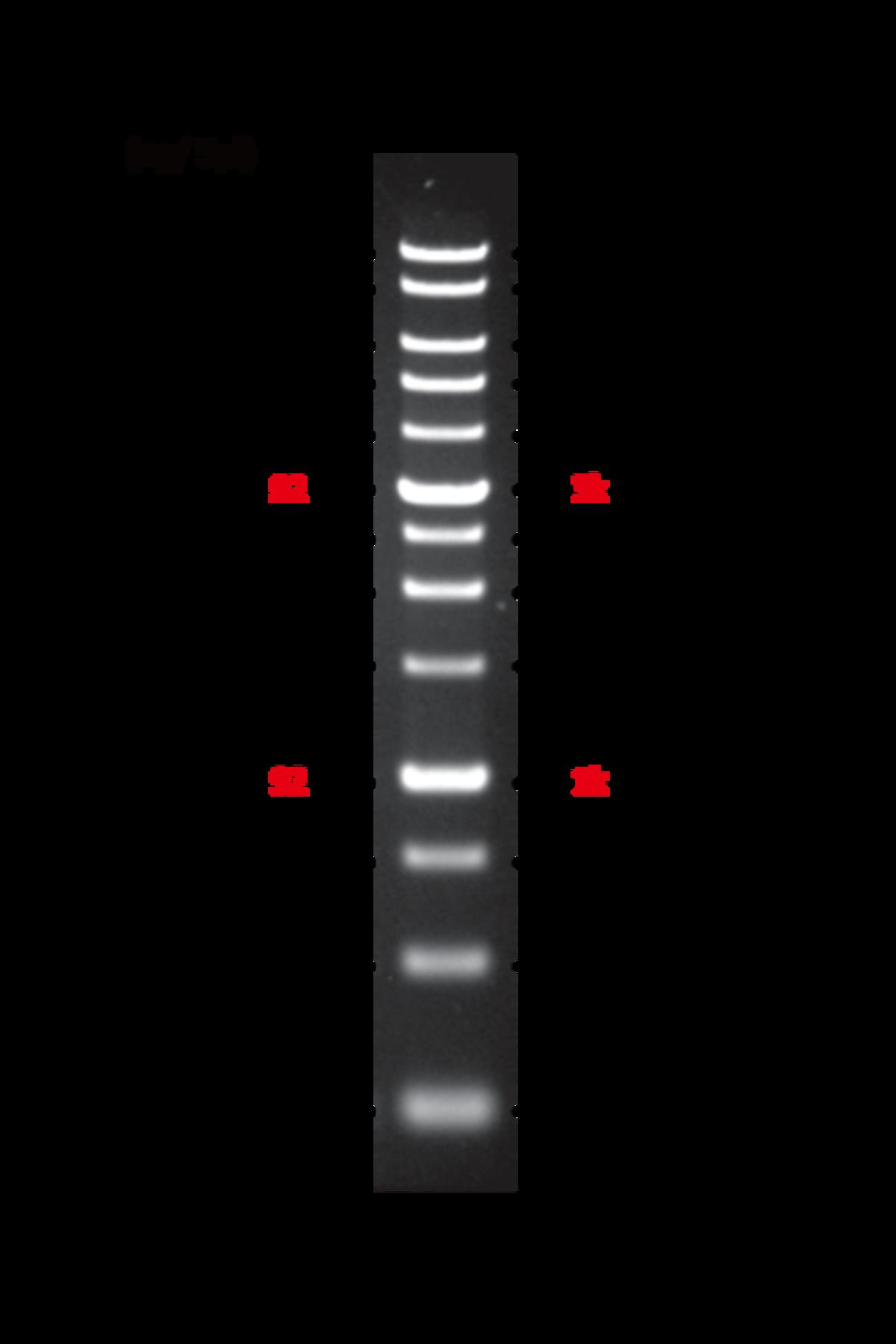 ExcelBand 1kb DNA ladder image