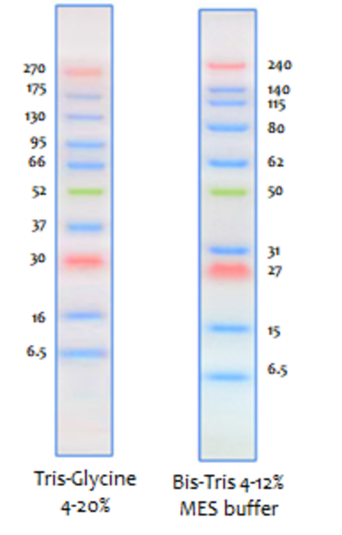 AcuteBand Prestained Protein Ladder