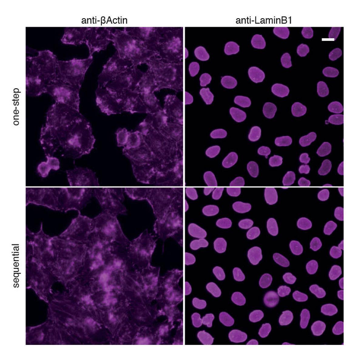 One-step immunostaining with Nano-Secondaries